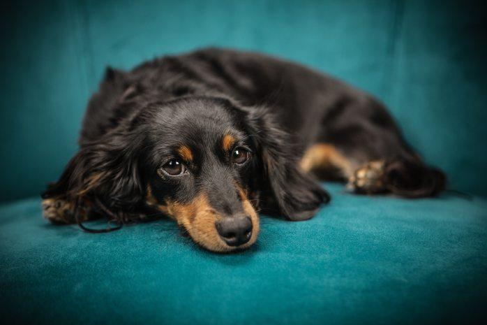 black-and-tan-long-coat-dog-169524